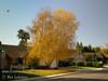 Birch Fall Color (RGB)