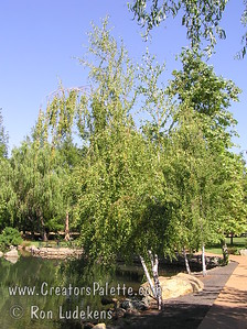 Birch trees near pond at Aquatic Park - Paradise