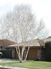 Birch Clumps dormant