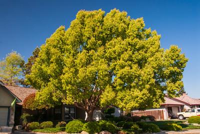Cinnamomum camphora - Camphor Tree In landscape at end of Victor Avenue next to park in Visalia.