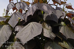 "Catalpa erubescens 'Purpurea'  Purple Catalpa : These photo galleries have been provided to allow Nurseries and other plant enthusiasts obtain quality photos for your websites and printed publications.  Only you know the look and feel you want to obtain, so it is best that you select the photos that work best for your application as opposed to a L.E. Cooke Co staff person choosing for you.  Select the photo, click on ""buy this photo"" then select ""Downloads"".  There is a nominal cost for the file to support this website."