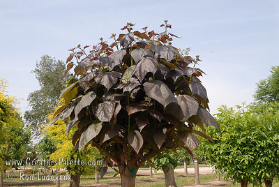 Purple Catalpa - Catalpa erubescens 'Purpurea' Young leaves of this Catalpa are deep blackish-purple, turning to purple toned green in summer.  Large leaves 10-12 inches long.  Clusters of white flowers lightly speckled with yellow or purple in late spring.  Mature height is 30-40 feet with a spread of 25-30 feet.  Cold hardy to U.S.D.A.  Zone 5. (Note: Trees in the LEC Budwood Orchard are cut back heavily every year to force growth of budwood to make new trees.  Thus, I apologize that this photo is not as aesthetically pleasing as it would be in a proper landscape application.  You need to use a little imagination how a full grown tree would look.
