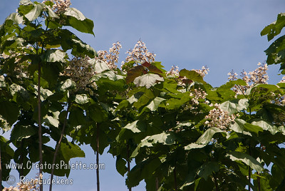 Purple Catalpa - Catalpa erubescens 'Purpurea' Young leaves of this Catalpa are deep blackish-purple, turning to purple toned green in summer.  Large leaves 10-12 inches long.  Clusters of white flowers lightly speckled with yellow or purple in late spring.  Mature height is 30-40 feet with a spread of 25-30 feet.  Cold hardy to U.S.D.A.  Zone 5.