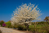 White Eastern Redbud also called Whitebud - Cercis canadensis 'Alba'<br /> A special budded selection of the Canadian (Eastern) Redbud providing large, pure white blooms in the spring.  Mature height is 20-25 feet with a spread of 25-30 feet. Cold hardy to U.S.D.A.  Zone 4.