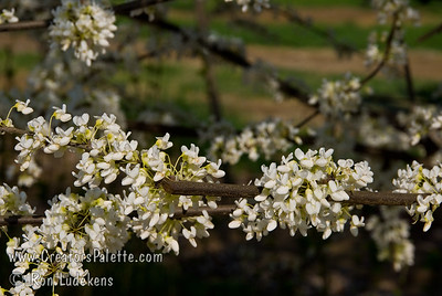 White Eastern Redbud also called Whitebud - Cercis canadensis 'Alba' A special budded selection of the Canadian (Eastern) Redbud providing large, pure white blooms in the spring.  Mature height is 20-25 feet with a spread of 25-30 feet. Cold hardy to U.S.D.A.  Zone 4.