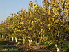 White Eastern Redbud also called Whitebud - Cercis canadensis 'Alba'<br /> Yellow fall color.<br /> A special budded selection of the Canadian (Eastern) Redbud providing large, pure white blooms in the spring.  Mature height is 20-25 feet with a spread of 25-30 feet. Cold hardy to U.S.D.A.  Zone 4.