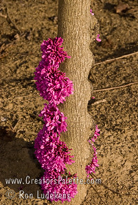 Avondale Redbud - Cercis chinensis 'Avondale' Fantastic deep purple-pink flowers cover tree in early spring completely hiding stems, including large limbs.  15 feet height with 10 feet spread.  Cold hardy to USDA Zone 6.