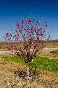 Don Egolf Redbud - Cercis chinensis 'Don Egolf' Abundant rosy-mauve flowers adorn this small tree in the spring.  Dark green foliage.  Compact shrub-like grower can be trained into a tree.  Mature height reaches 9 feet tall and 9.5 feet wide.  This variety produces no seed.  Special selection made by the U.S. National Arboretum in Washington D.C from seed obtained from Kumming, China.  Cold hardy to USDA Zone 6.