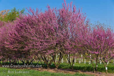 Mexican Redbud - Cercis canadensis 'Mexicana' A pink blooming small  multi-stemmed tree. Its bright pink flowers welcome springtime and are followed by round, ruffled leaves. One of the best suited Redbuds for western and central Texas and Oklahoma or similar environments. Drought tolerant. Mature height up to 18-25 feet with a spread of 18-25 feet.  Cold hardy to U.S.D.A.  Zone 6B.
