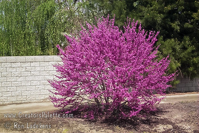 """Westren Redbud - Cercis occidentalis Native to California. This small tree delivers a 3 week brilliant display of magenta flowers in spring.  Summer foliage is handsome blue-green. 3"""" leaves notched or rounded at tip.  Can be grown as a multi-stem bush or single trunked tree.  Height ranges from 15-20 ft with same spread.  Very drought tolerant.  Cold hardy to U.S.D.A.  Zone 7, some say 6."""