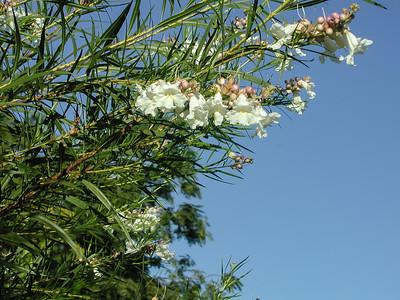 White Desert Willow-2