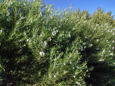 White Desert Willow (1)-2