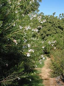 White Desert Willow (2)-2