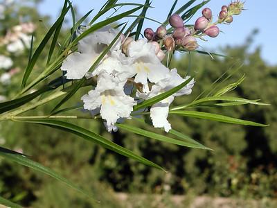 White Desert Willow (4)-2