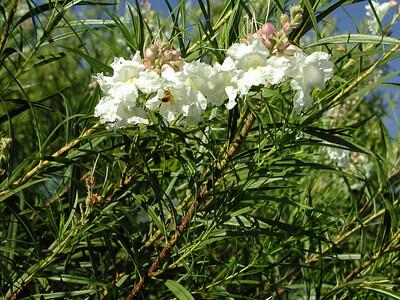 White Desert Willow (3)-2