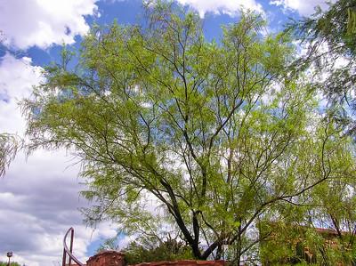 Desert Willow at Red Rock Park near Sedona, AZ