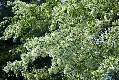 "Chinese Fringe Tree (Chionanthus retusus  Like fleecy snow, magnificent clusters of white fringe-like flowers adorn this tree as early as Late March or April depending upon climate area. Reminiscent of a tremendous white lilac. Soft green leaves are 2-4"" long.  Upright branches form dome shape 15-20 ft. high, 20-25 ft. wide. Cold hardy to USDA Zone 5.  Drought Tolerant."