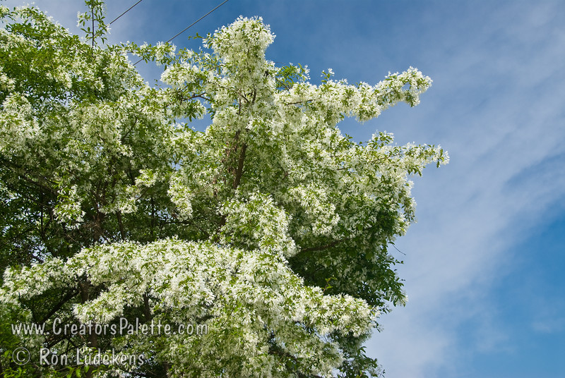 "Chinese Fringe Tree (Chionanthus retusus <br /> Like fleecy snow, magnificent clusters of white fringe-like flowers adorn this tree as early as Late March or April depending upon climate area. Reminiscent of a tremendous white lilac. Soft green leaves are 2-4"" long.  Upright branches form dome shape 15-20 ft. high, 20-25 ft. wide. Cold hardy to USDA Zone 5.  Drought Tolerant."