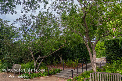Chitalpa tashkensensis 'Pink Dawn' at beautiful Dallas Arboretum