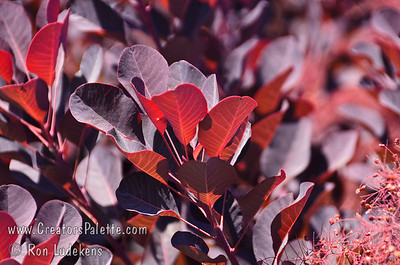 Cooke's Purple Smoke Tree - Cotinus coggygria 'Cooke's Purple' Bold purple foliage with dramatic puffs of reddish-purple smoke-like blooms.  Large vase-shaped shrub reaching 15-20 feet high and wide.  Holds color the best of the species in hot summer areas.  Drought tolerant.  Cold hardy to USDA Zone 5.  Photo from L.E. Cooke Co scion wood orchard.