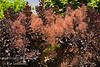 Cooke's Purple Smoke Tree - Cotinus coggygria 'Cooke's Purple'<br /> Bold purple foliage with dramatic puffs of reddish-purple smoke-like blooms.  Large vase-shaped shrub reaching 15-20 feet high and wide.  Holds color the best of the species in hot summer areas.  Drought tolerant.  Cold hardy to USDA Zone 5.  Photo from L.E. Cooke Co scion wood orchard.