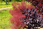 "Cooke's Purple Smoke Tree - Cotinus coggygria 'Cooke's Purple' : These photo galleries have been provided to allow Nurseries and other plant enthusiasts obtain quality photos for your websites and printed publications.  Only you know the look and feel you want to obtain, so it is best that you select the photos that work best for your application as opposed to a L.E. Cooke Co staff person choosing for you.  Select the photo, click on ""buy this photo"" then select ""Downloads"".  There is a nominal cost for the file to support this website."