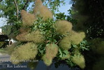 "Green Smoke Tree - Cotinus coggygria : These photo galleries have been provided to allow Nurseries and other plant enthusiasts obtain quality photos for your websites and printed publications.  Only you know the look and feel you want to obtain, so it is best that you select the photos that work best for your application as opposed to a L.E. Cooke Co staff person choosing for you.  Select the photo, click on ""buy this photo"" then select ""Downloads"".  There is a nominal cost for the file to support this website."