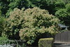 "Green Smoke Tree - Cotinus coggygria<br /> Large vase shaped shrub.  Green foliage with bluish tint.  Lavender-green ""smoke-like"" bloom.  Height and spread 12-15 feet.  Drought tolerant.  Cold hardy to USDA Zone 5."