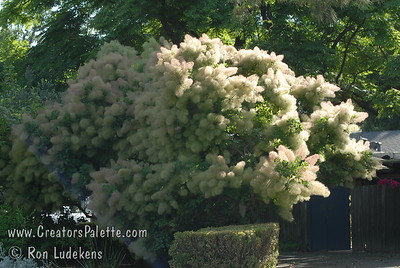 "Green Smoke Tree - Cotinus coggygria Large vase shaped shrub.  Green foliage with bluish tint.  Lavender-green ""smoke-like"" bloom.  Height and spread 12-15 feet.  Drought tolerant.  Cold hardy to USDA Zone 5."