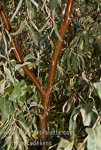 "Velvet Touch™ Russian Olive - Elaeagnus angustifolia 'Cookes' A special selection found to have far fewer thorns and larger, longer, velvety leaves.  Trunk and branches covered with shredding dark brown bark contrasts with willow-like 2"" long, velvet, silvery gray leaves.  Mature height to 25 ft. x 25 ft.  Very tolerant of drought and extreme head and cold.  Cold hardy to USDA Zone 2.  Photo showing reddish-brown branches with shredding bark.  Note, try to find any thorns.  There are very few."
