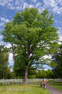 Stately old Green Ash at the Hermitage near Nashville, TN