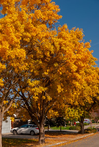 velutina glabra (Modesto Ash) A sturdy, fast growing, round-headed shade tree especially suited to warmer areas. Grows to a height of 50 ft. with about 30 ft. spread. Fall foliage turns to a bright yellow before dropping. Seedless. Cold hardy to Zone 6. Drought Tolerant.