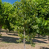 Hardy Rubber Tree (Eucommia ulmoides)<br /> If you want green leaves on a tree during a severe drought, this is your tree! This little-known but urban-tough, has Elm like ascending branches reaching heights of 40-60 feet and nearly as wide. Attractive rounded habit.  Ideal for use as a specimen, shade or street tree. The thin, glossy, dark green leaves are almost totally resistant to pests and disease and remain an attractive dark green throughout the summer, changing only to a paler green before dropping in early fall. The foliage is quite striking and appears to glimmer in the moonlight or when lit from above.  Only one or two corrective prunings at an early age normally is all that is needed to develop good structure in the crown.   Has medicinal uses too.  Has latex in the sap. Cold hardy to U.S.D.A.  Zone 4.