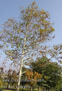 Platanus x acerifolia 'DTR-127' - Ivory Tower® Sycamore Tall, straight and magnificent are words used to describe this stately tree. Trees in the landscape and in the production field show a pleasant propensity to grow straight. Sycamores that lose their terminal buds through foliage diseases such as anthracnose tend to branch and grow a bit ragged. This tree has proven to be very clean foliage in the Visalia environment and it is time to see how it performs in wider geographical areas. Attractive whitish-tan bark. Height to 50 ft., spread 30-40 ft. Cold hardy to USDA Zone 5.