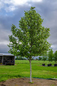 Mexican Sycamore selection by Charlie Potts and Dry Creek Tree Farm, Del Valle, TX