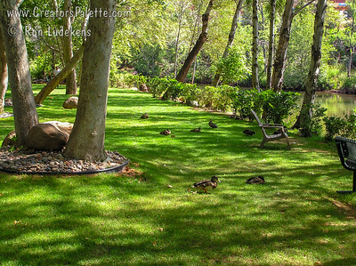 Arizona Sycamore along Cottonwood Creek in Sedona, Arizona