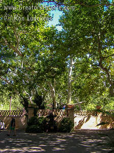 Arizona Sycamore near Cottonwood Creek as part of the landscaping in the Tlaquepaque Arts and Crafts Village in Sedona, Arizona