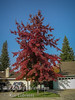 Fall Color Scarlet Oak (Quercus coccinea)