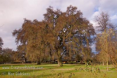 Oak Trees at Bennetts Ranch - Visalia, CA