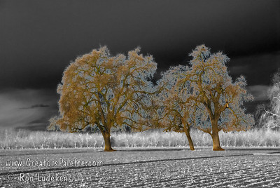Playing with B&W mixed with color. Oak Trees at Bennetts Ranch - Visalia, CA