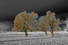 Playing with B&W mixed with color.<br /> Oak Trees at Bennetts Ranch - Visalia, CA