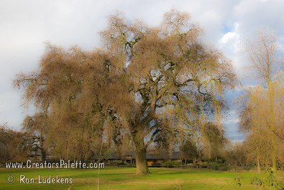 Soft, dreamy view. Oak Trees at Bennetts Ranch - Visalia, CA