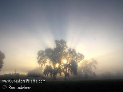 Valley Oaks (Quercus lobata) in the Tule fog