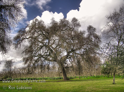 Majestic Oak in front yard of Bennetts Ranch Home, Visalia, CA