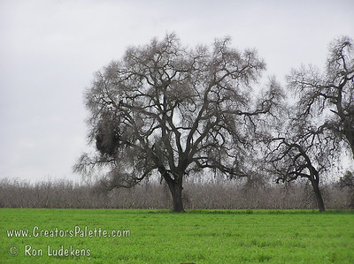 Valley Oaks (Quercus lobata) at Bennetts Ranch, Visalia, CA