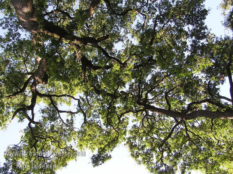 Valley Oaks (Quercus lobata) in Bidwell Park, Redding, CA