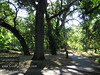 Valley Oaks (Quercus lobata) in Bidwell Park, Redding, CA