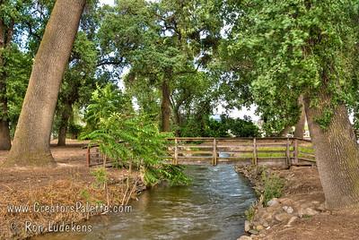 Quercus lobata (Valley Oaks) along Mill Creek  in east Visalia, CA