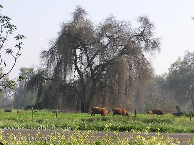 Valley Oaks (Quercus lobata) along Highway 198 East of Visalia, across from Kaweah Oaks Preserve.