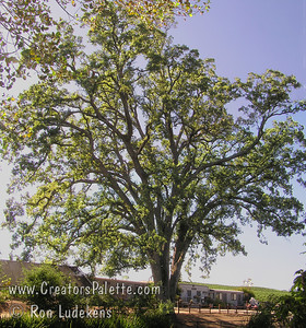 Quercus lobata (Valley Oaks) at Amador Flower Farm  in Plymouth, CA.